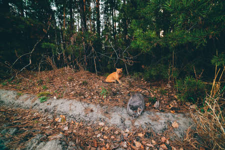 Two cats in autumn forest. Gray cat and ginger cat sit among leafage on edge of forest. Fallen foliage on ground in fall woods. Needles on branches. Coniferous trees in dark woodland. Funny animals.
