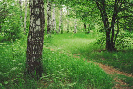 Birch tree grow on beautiful meadow among rich vegetation. Birch trunk close-up. Scenic landscape with pathway through glade among trees. Natural background with greenery. Vivid scenery in sunny day.