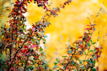 Bearberry shrub with autumn leaves in sunset close-up. Fall multicolor leaves of green red colors. Berry on cotoneaster branch on yellow sunny bokeh background in golden hour. Rich flora in sunrise. 写真素材