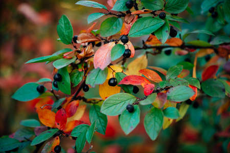 Berry on cotoneaster branch on fall bokeh background. Bearberry shrub with autumn leaves close-up. Fall multicolor leaves of green red yellow orange colors. Autumn backdrop with colorful rich flora.