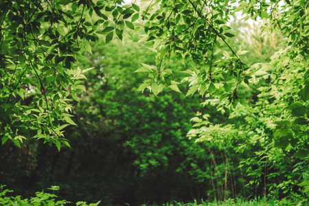 Scenic natural green background in blur behind vivid thickets in sunlight. Beautiful bushes in bokeh behind colorful leaves close-up. Blurred backdrop from rich greenery in sunny day with copy space. 写真素材