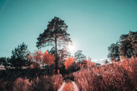 Surreal scenic landscape at early morning in autumn forest. Dazzling bright sunlight through needles of high pine tree. Rich fall foliage glitter in sunbeams. Surrealist sunrise. Lovely sunset scenery