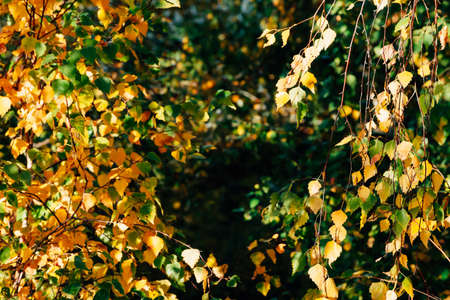 Autumn leaves of birch tree close-up. Fall natural background of yellow orange green foliage. Scenic nature backdrop of birch. Multicolor autumn leafage tree. Colorful variegated foliage in sunlight. 写真素材