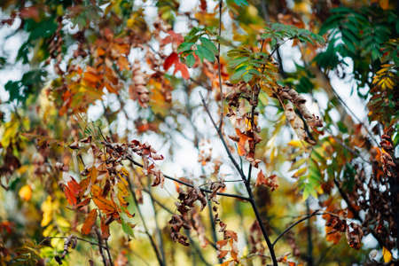 Wild rowan branches in autumn forest on sky bokeh background. Orange green leaves in sunny light close-up. Autumn woodland backdrop with colorful rich flora in sunlight. Fall rowan leaves in backlight