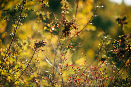 Red berries of viburnum on branches in sunset. Scenic autumn rich flora in golden hour. Colorful viburnum in sunrise. Multicolor bokeh plants nature background in sunlight. Sunny fall natural backdrop