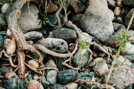 Small green sprouts of tree grows from roots. Nature sunny background of beautiful roots of deciduous tree on stony shore. Tree grows on of pile stones. Vitality plants. Snags on boulders in sunlight.