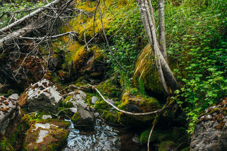 Scenic landscape to beautiful greenery and plant roots on mossy boulders near small river. Rich vegetation on stones with mosses near spring water. Forest scenery with wild flora near mountain creek.