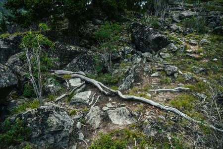 Root trail among rocks for mountain hiking close-up. Footpath for trekking among tree roots and stones with mosses and lichens. Nature background with path way among mossy boulders. Natural backdrop.