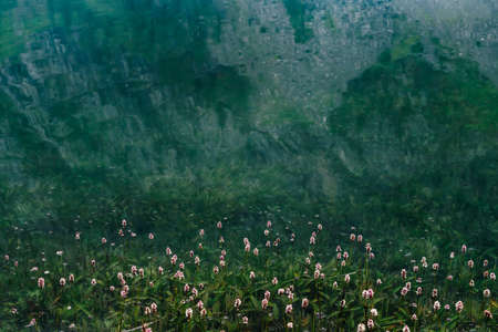 Many small flowers in clear water among underwater green grasses after flood. Green nature background with many florets among rich vegetations in mountain lake. Natural backdrop with lush lake flora. 스톡 콘텐츠