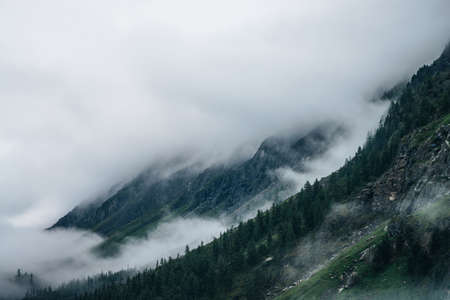 Coniferous forest on mountainside among low clouds. Atmospheric view to rocky mountains with conifer trees in dense fog. Ghostly foggy forest on big rocks. Minimalist dramatic scenery at early morning