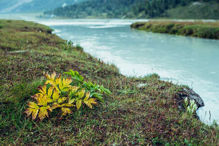 Scenic nature background with vegetation on shore of azure mountain river. Beautiful highland flora near river with cyan water. Idyllic autumn scenery with grasses and milky water of mountain river.