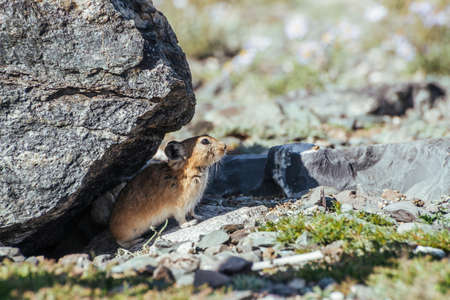 Beautiful little pika rodent hiding from heat under stone in shade. Small pika rodent hide from sun under rock in shadow in hot sunny day. Little furry pika animal sits under boulder at hot summer day