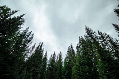 Blurry silhouettes of fir tops on cloudy sky background. Atmospheric minimal forest scenery in blur. Tops of green conifer trees against gray sky. Nature abstract backdrop with firs. Mystery landscape