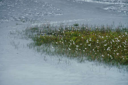Green grass and many small fluffy flowers grows in silver water stream of mountain river. Nature background with gray mountain creek and green grasses. Natural backdrop with ripples on silver water.