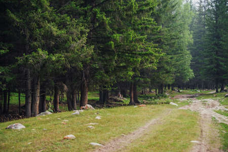 Atmospheric forest scenery with dirt road among firs in mountains. Scenic landscape with glade in mountain coniferous forest. Beautiful view to conifer trees in woodland. Stones on meadow in woods. 스톡 콘텐츠