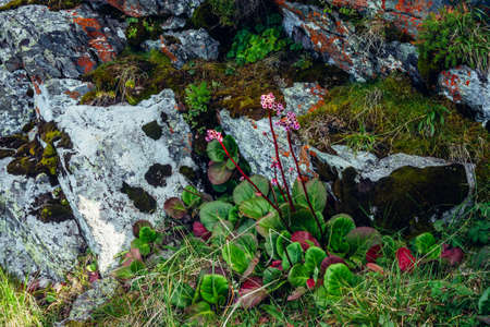 Beautiful pink flowers of bergenia crassifolia among lush greenery close-up. Colorful rich mountain flora among rocks. Stones with mosses and lichens closeup. Badan broadleaf flowering among stones. 스톡 콘텐츠