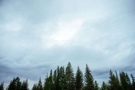 Silhouettes of fir tops on cloudy sky background. Atmospheric minimal forest scenery. Tops of green conifer trees against gray overcast sky. Nature backdrop with firs and sky. Woody mystery landscape.