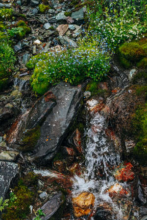Scenic background with clear spring water stream among thick moss and lush vegetation. Mountain creek on mossy slope with fresh greenery and many small flowers. Colorful backdrop of rich alpine flora.