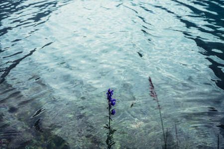 Small violet flower of larkspur grows in clear water of mountain lake close-up. Vegetation in purple calm water and meditative ripples. Nature background with plants in mountain lake. Natural backdrop