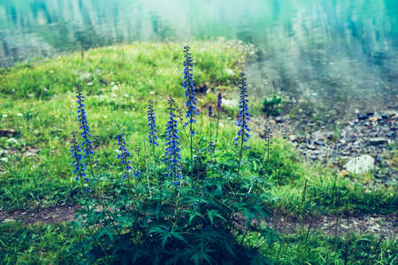 Many amazing blue flowers of larkspur grows on shore of mountain lake with clear azure water. Scenic nature background with beautiful larkspur flowers closeup on lake with turquoise smooth water.