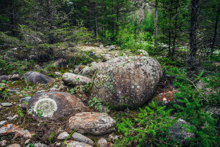 Scenic forest landscape with big mossy boulder among conifers. Colorful scenery with big boulder with mosses and lichens in coniferous forest. Beautiful forest view with mosses and stones in woodland. 스톡 콘텐츠