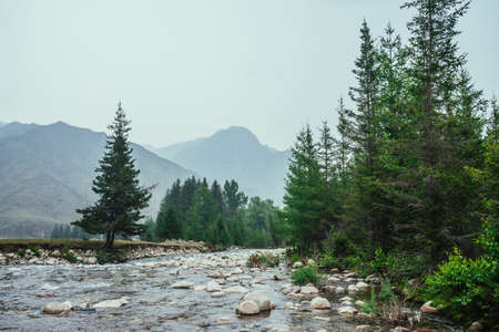 Beautiful view to mountain creek with many stones in clear water among firs and vegetation. Atmospheric scenery with mountain river among trees and big mountains. Scenic landscape of highland nature.