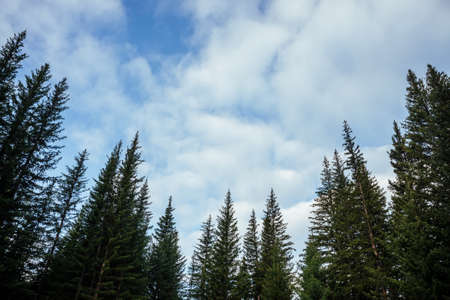 Silhouettes of fir tops on background of clouds. Atmospheric minimal forest scenery. Tops of green coniferous trees against cloudy blue sky. Nature backdrop with firs and sky. Woody mystery landscape. 스톡 콘텐츠