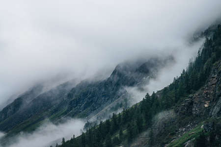 Ghostly foggy coniferous forest on rocky mountainside. Atmospheric view to big crags in dense fog. Low clouds among giant mountains with conifer trees. Minimalist dramatic scenery at early morning. 스톡 콘텐츠