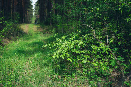 Beautiful dense forest scenery with trees and plants with vivid green foliage. Man got lost in deep forest surrounded by lush vegetation. Atmospheric summer woodland landscape with vivid greenery. 스톡 콘텐츠