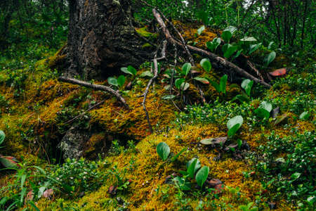 Beautiful taiga scenery with rich flora on mossy slope. Green red leaves of bergenia crassifolia among thick moss on mountainside. Atmospheric green forest landscape with fresh greenery. 스톡 콘텐츠