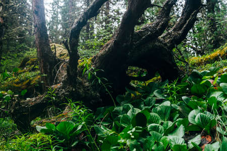 Big fallen tree root covered with thick moss in taiga wilderness among fresh greenery. Atmospheric background of terrible place in wild dark forest. Virgin flora of woods. Mystery woodland atmosphere.