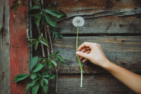 Dandelion flower in female hand on background of wooden wall with girlish grape leaves. Beautiful hand of girl with blowball flower on rustic backdrop with plants. Lush dandelion in woman arm close-up