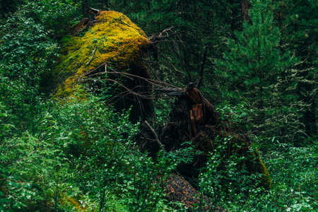Big fallen tree root covered with thick moss in taiga wilderness among fresh greenery. Atmospheric landscape of terrible place in wild dark forest. Virgin flora of woods. Mystery woodland atmosphere.