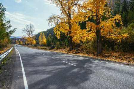 Colorful autumn landscape with birch tree with yellow leaves in sunshine near mountain highway. Bright alpine scenery with car on mountain road and trees in autumn colors. Highway in mountains in fall