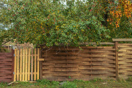 Vivid autumn nature background with beautiful green and yellow leaves and red small apples of apple tree above unusual designer wooden fence with a wicket. Colorful nature backdrop with autumn leaves.