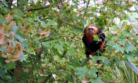 faced: Monkey on a tree. Stock Photo