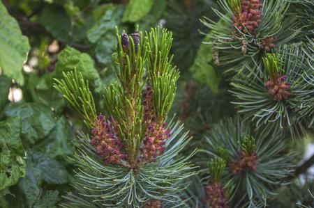 evergreen branch: sola rama de hoja perenne de un tree.green abeto Foto de archivo