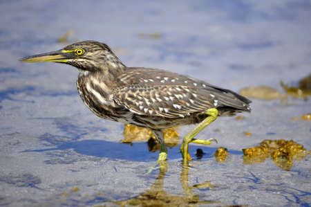 nycticorax on the Red Sea photo