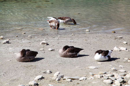 kournas: Geese at lake Kournas at island Crete