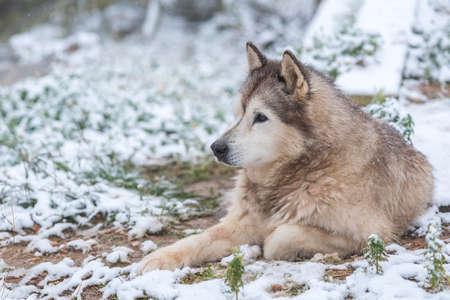 female Alaskan Malamute in the snowy garden Stock Photo - 121266431