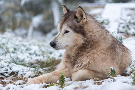 female Alaskan Malamute in the snowy garden Stock Photo - 121267602