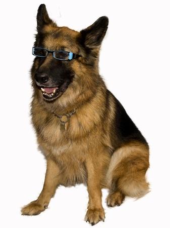 German Shepherd with eyeglasses blue photo