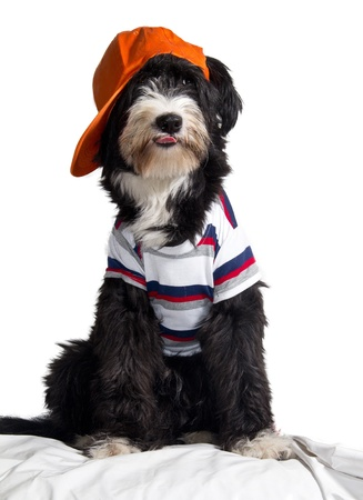 bobtail dog breed that makes the hat with spiteful Stock Photo