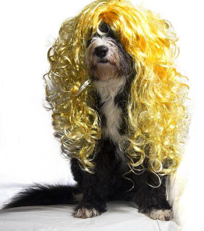 bobtail dog have a long hair blond Stock Photo