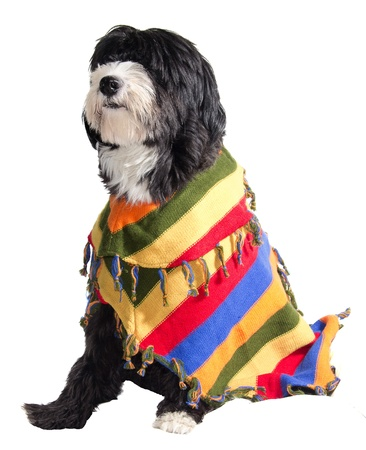 dog with Mexican sombrero and poncho Stock Photo - 16534172