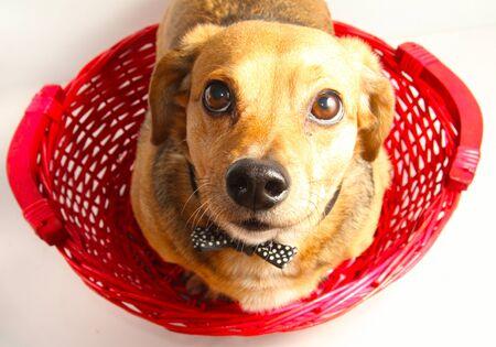 happy dutchshound in the red basket