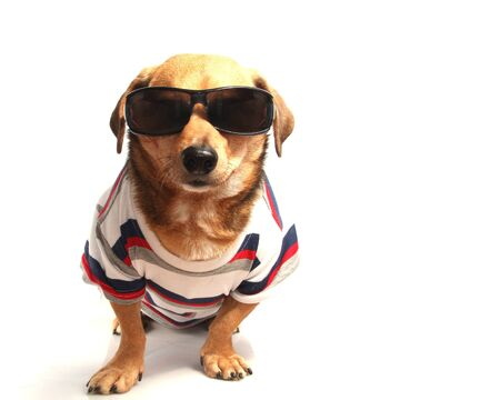 a little dog and sunglasses Stock Photo