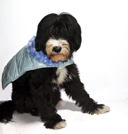 a black dog sweet Prince Charming blue photo