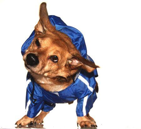 the blue rain dog Stock Photo - 17243614