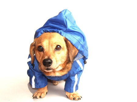 the blue rain dog Stock Photo - 17243618